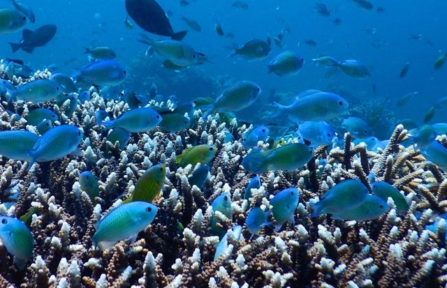 サンゴ礁にデバスズメダイの群れ